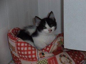 Adoption chaton loire atlantique 44 dans Ils sont à adopter... chaton-013-bien-300x225