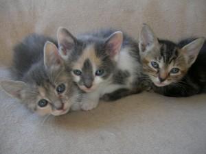 3 chatons à l'adoption en Loire Atlantique 44 dans Ils sont à adopter... 003-300x225